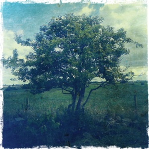 The fairy thorn tree on our farm