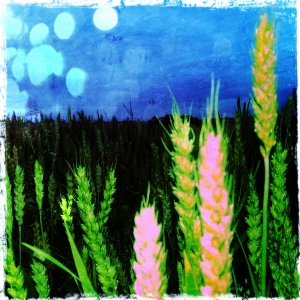 August Wheat