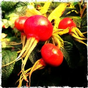 Dog Rose Berries August