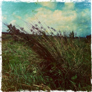 Rushes blown over in the wind
