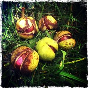 conker horse chestnut