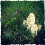 Shaggy Ink Cap