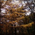 Autumn yellow larch